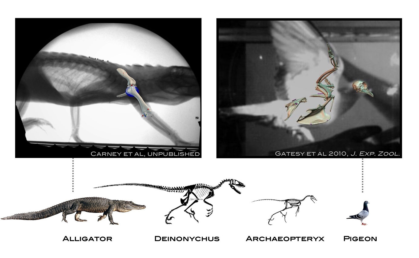 image__X-ray alligator and bird.jpg