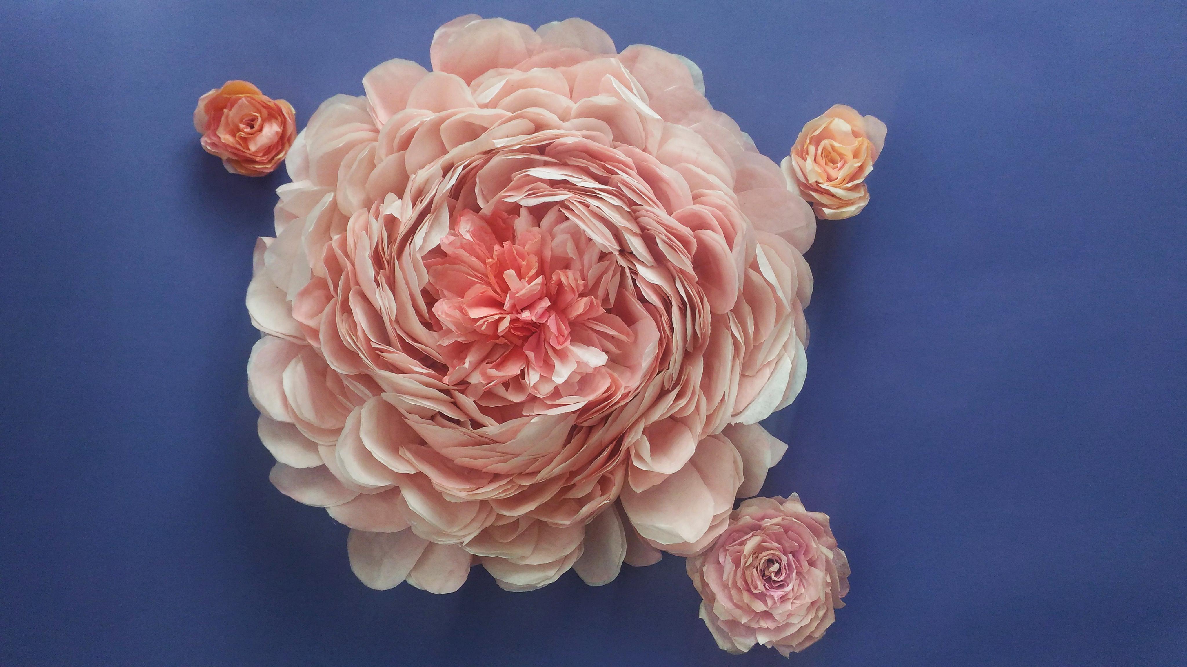 Trandafir Englezesc de Gradină Uriaș