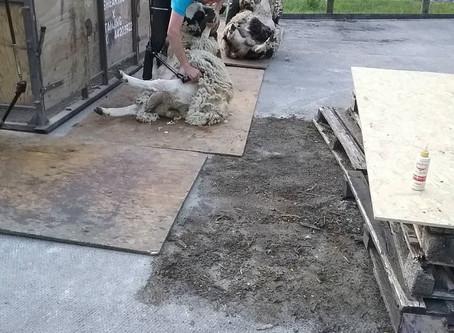 Shearing ...
