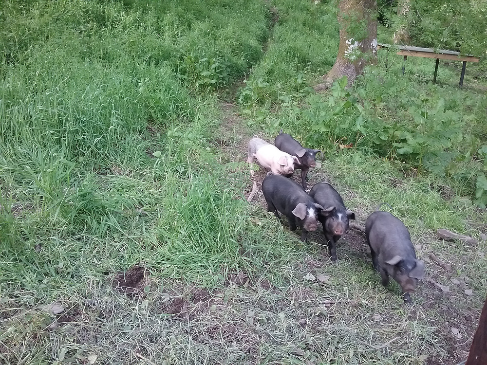 Welsh bred pigs exploring