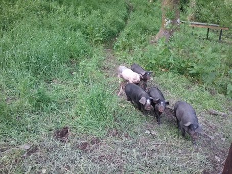 Pigs exploring