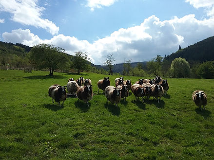 the sheep in the orchard.jpg