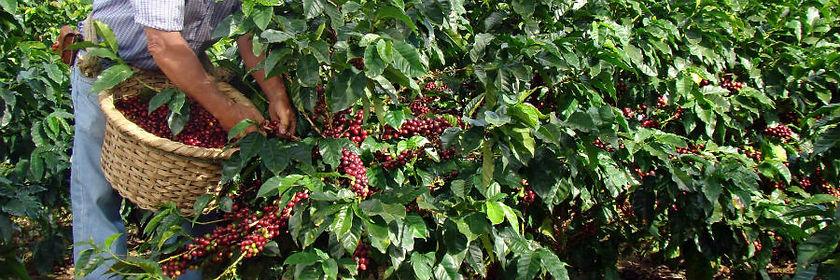 Delicado Kaffee kaufen frisch gepflückt