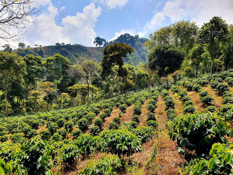 Kaffeebäume für unseren frischen Kaffee