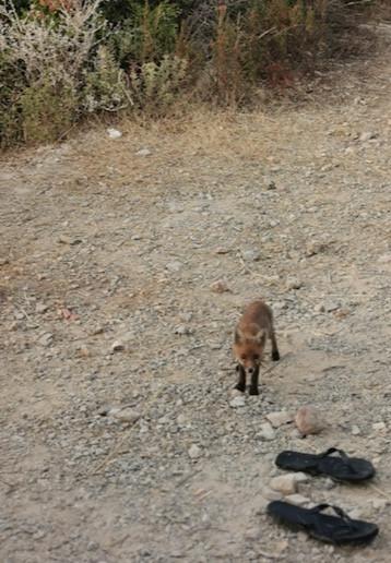 cucciolo di volpe a punta di torre ciana, monte argentario Toscana