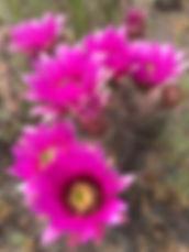 Cactusflower Maia Kincaid Photo.JPG