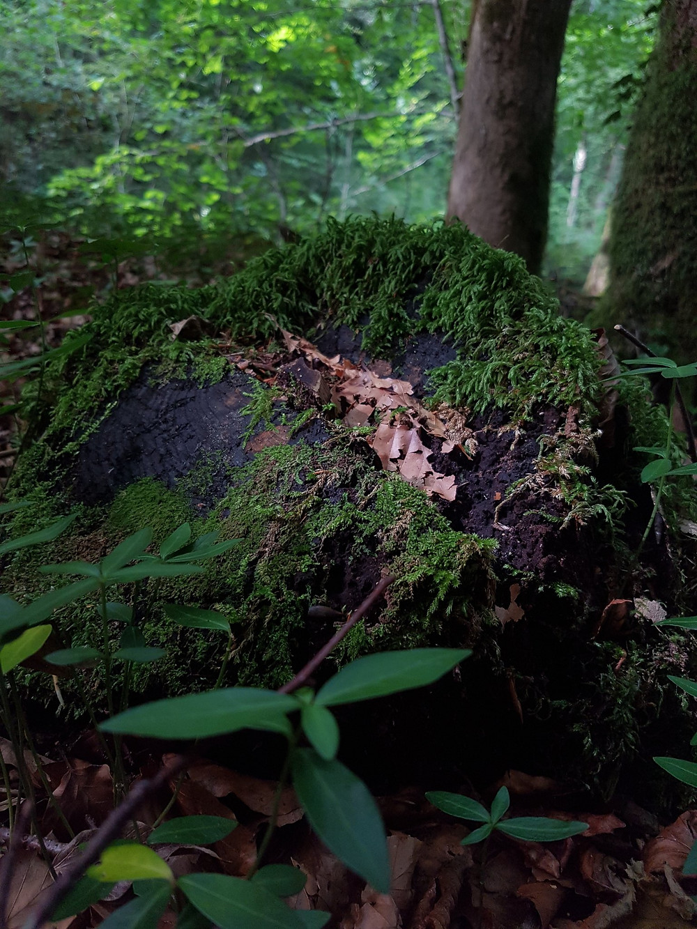 Souche d'arbre sur laquelle aime se reposer Kurbis