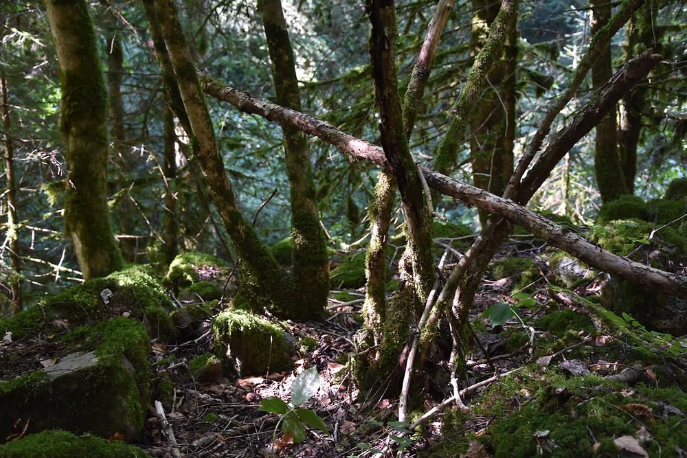 Forêt enchantée recouverte de mousse