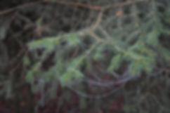 Branches de pin