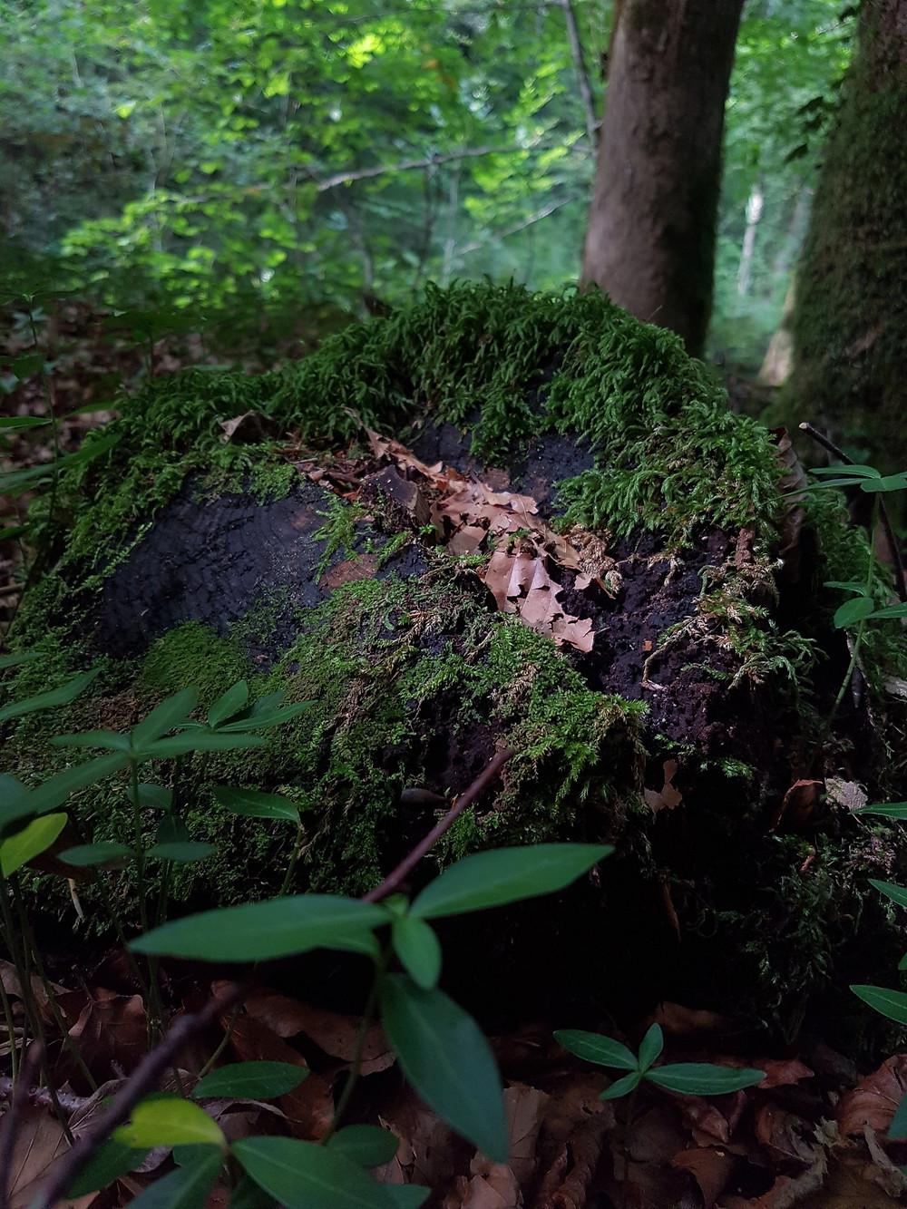 Souche d'arbre recouverte de mousse