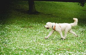 running dog in park