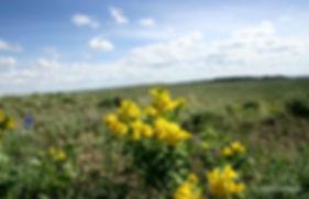 Yellow Pea_2.jpg