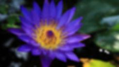 purplelotus.jpg