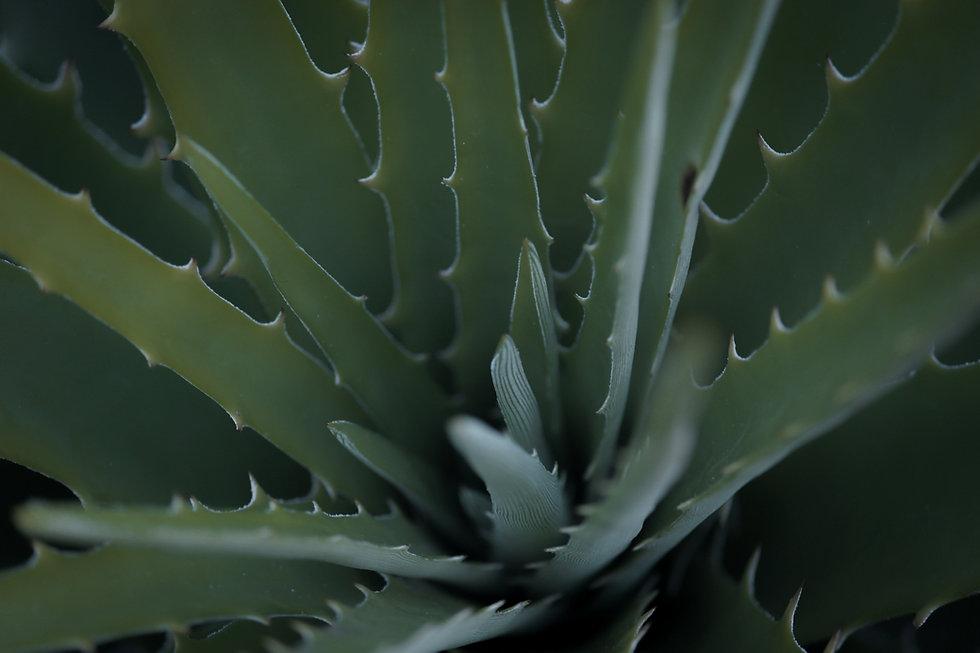 Aloe%20Vera%20Plant_edited.jpg