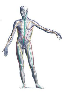 myofascial lines model