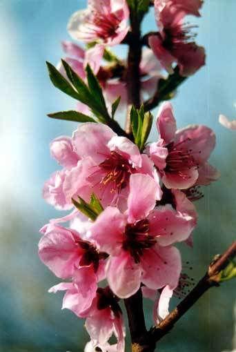 Cherry blossoms.com sito di incontri online
