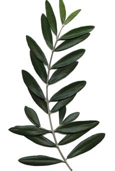 Il mio ramoscello d'ulivo