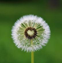 dandelion-4163657_1280_edited.jpg