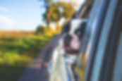 A Boston Terrier hangs his head out the window of a car, enjoying the view.