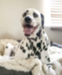 Smiling Dalmation relaxing in bed.