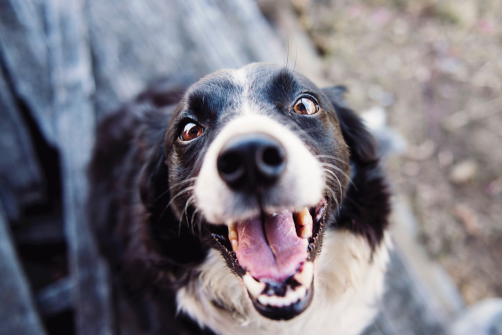 A Border Collie smiling with all his teeth showing.