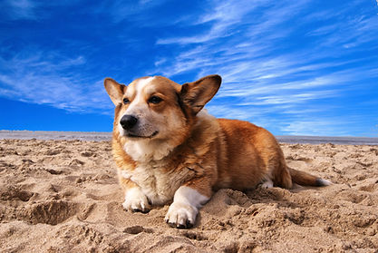 A Welsh Corgi laying down in a sea of sand and blue sky.