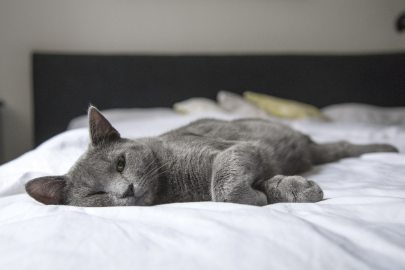 A sleek grey domestic shorthair cat lying on a bed with white sheets and has one eye open.