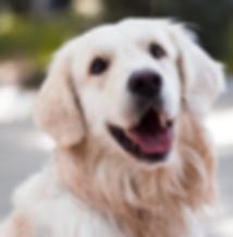 Smiling Labrador Retriever poses for a close up.