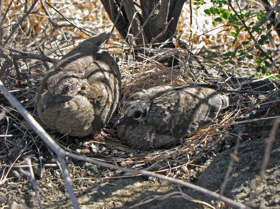 HPC-Fledgling-Doves.jpg