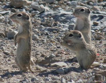 Ground Squirrels -Terlingua Retreat