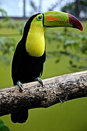 toucan-bird-parrot-17811.jpg