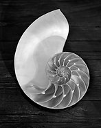 Nautilus Shell by Leana