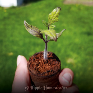 Tiny tomato plant at the hippie homesteader