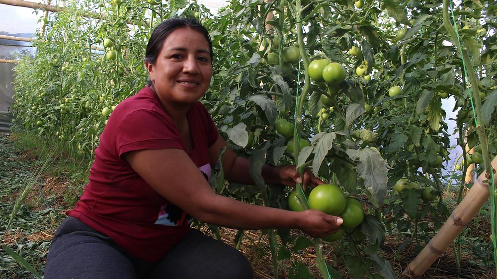 Sonia dans sa serre de tomates à Tunja Grande