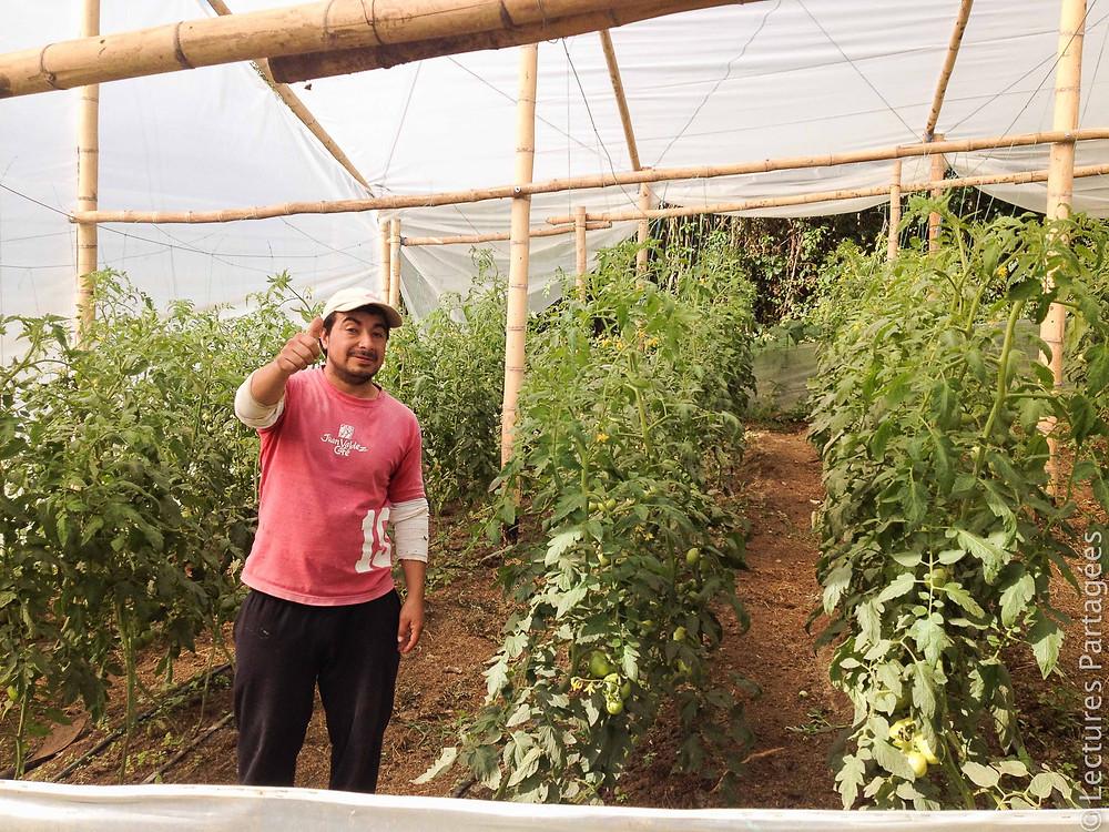 Les tomates biologiques de Billy à Matituy
