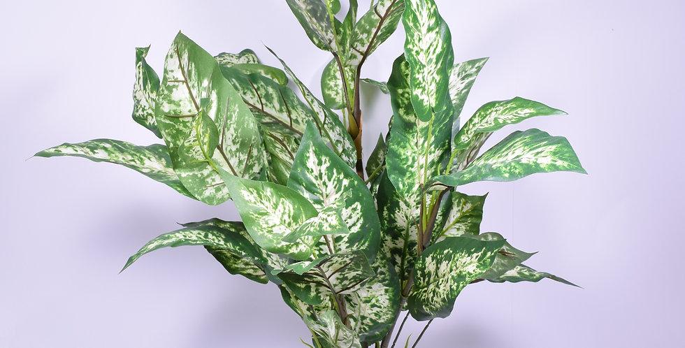 Ντιφενπάχια φυτό, ιδανικό για τοποθέτηση σε γλάστρα.