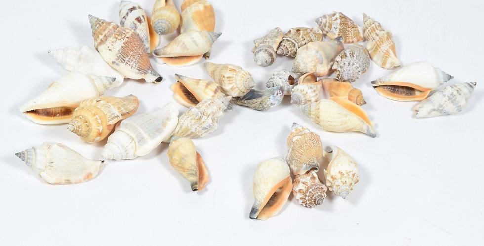 Strobus Auris Diane - Κοχύλια