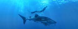 whale-shark-encounter-cabo-adventures-10_0