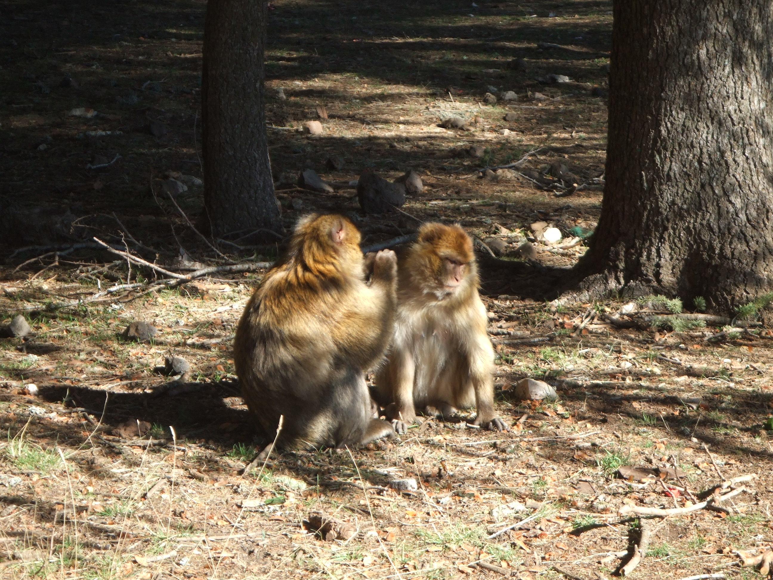 Monkey Business; Azru, Morocco