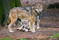 Loups gevaudan.jpg