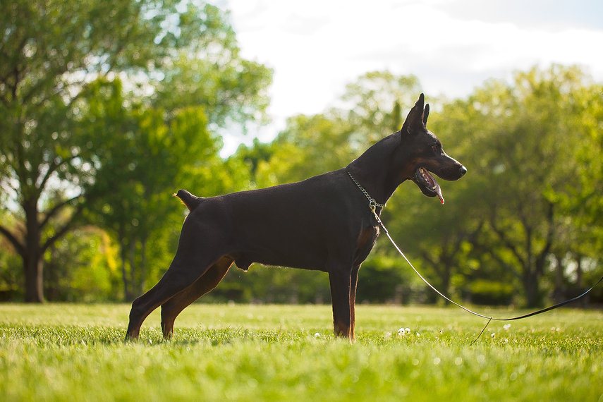 Working Doberman breeder and dog trainer located in Staten Island, New York.
