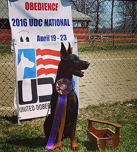 Livonija Baron Pompey, HIT at the 2016 UDC National Obedience Trial.