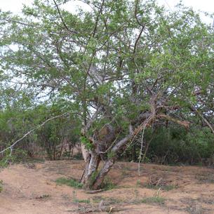 Umburana (Amburanacearensis)
