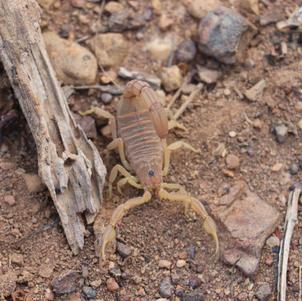 Escorpião-amarelo (Tityus serrulatus)