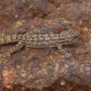 Briba (Gymnodactylus geckoides)