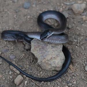 Cobra-preta ou muçurana (Pseudoboa nigra)