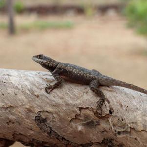 Calango (Tropidurus hispidus)