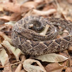 Cobra Cascavel (Crotalus durissus)