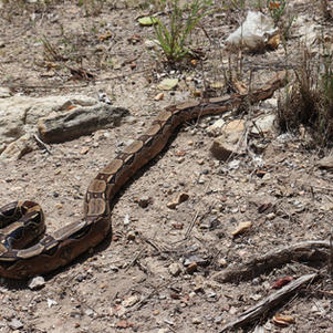 Jiboia-constritora (Boa constrictor)