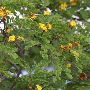 Catingueira (Caesalpinia pyramidalis)
